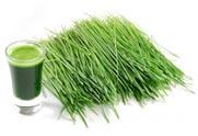 Pomladiti organizam - ječmena trava