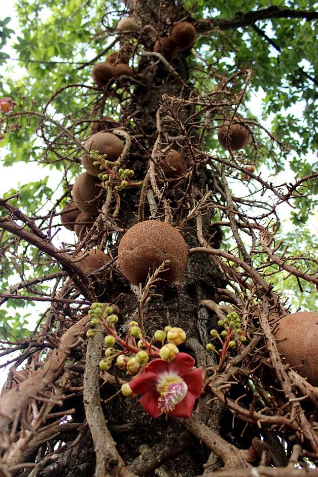 brazilski oraščići