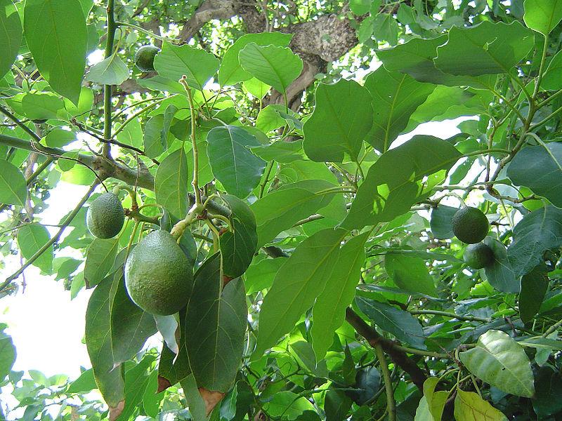 avokado stablo