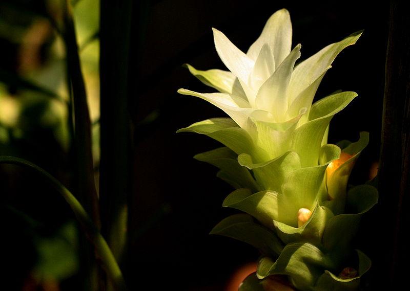cvijet kurkume