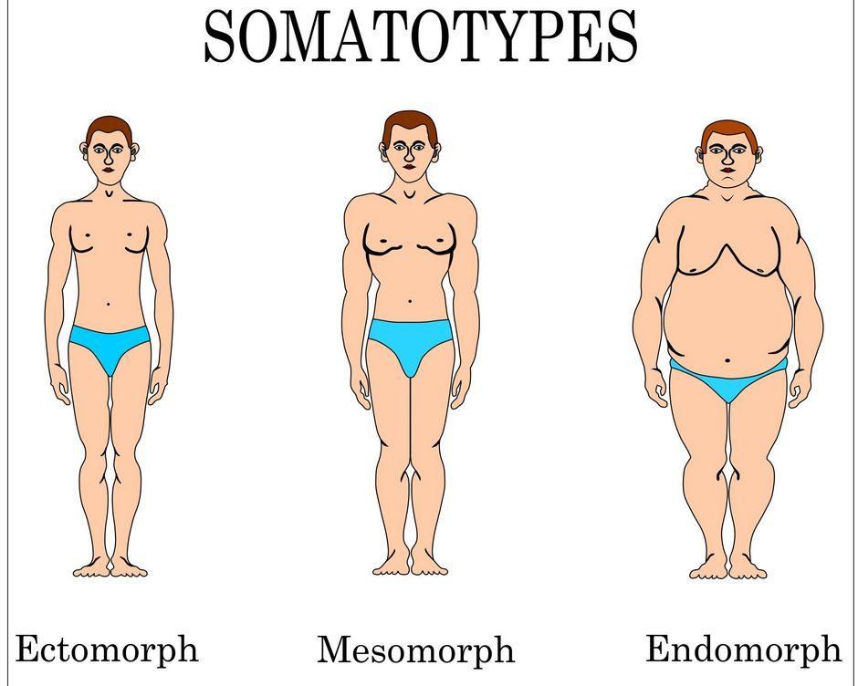 ektomorf, mezomorf, endomorf,